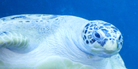 Image of turtle swimming in the sea