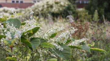 Dealing with knotweed